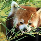 Red Panda in Bamboo by Lisa G. Putman