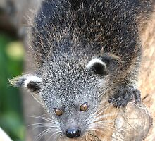 Baby Binturong by Paul Duckett
