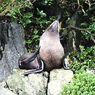 New Zealand Fur Seal - Milford Sound by Paul Duckett