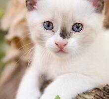 Cute white kitten by Ian Middleton