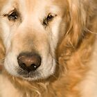 Golden retriever by Ian Middleton