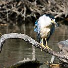 Black-Crowned Night Heron by David Friederich