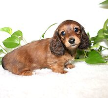 Baby Doxie by Ree  Reid