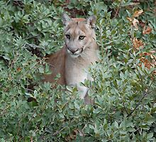 Mountain LIon by LauraStaff
