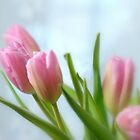 Tulips by Lynn McCann