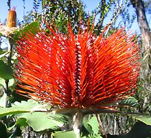 scarlet banksia by heleny