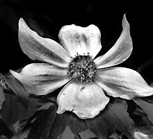 Pewter Dogwood by trueblvr