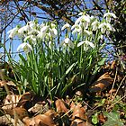 Snowdrops under a Hampshire hedgerow in February. by Philip Mitchell
