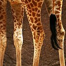 Giraffe Legs by Stephen Mitchell