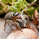 Jumping spider with prey by Ellie Won