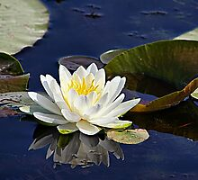 The Waterlily Named Friendship by Teresa Zieba