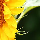 Morning Sunflower by murrstevens