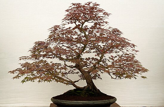 Bonsai Tree by AnnDixon