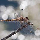 Sympetrum corruptum (Variegated Meadowhawk) by Jim Johnson