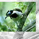 Blue Faced Honeyeater by Holly Kempe