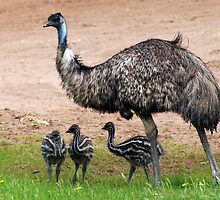 Family of emus Mum and her chicks  by janfoster