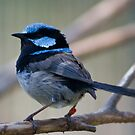 Superb Fairy Wren by Stephen Dean