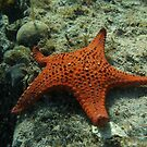 Brick-red Sea Star (Anthaster valvulatus) - Black Point, Whyalla by Dan &amp; Emma Monceaux
