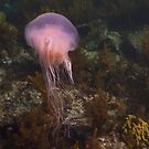 Drifting Jellyfish - Black Point, Whyalla by Dan & Emma Monceaux