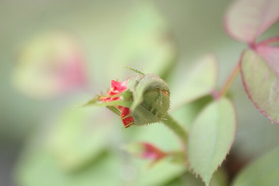 Rose Bud by Olivia Moore