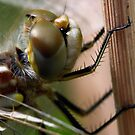 Variegated Meadowhawk Portrait by Wolf Read