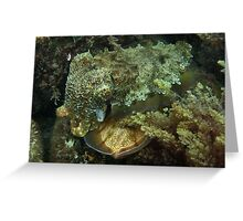 A Giant Australian Cuttlefish couple - Black Point, Whyalla Greeting Card