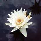 water lilly by Tim  Mammel