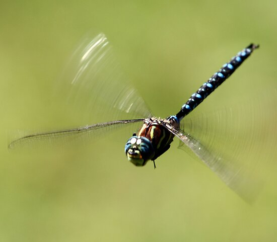 Paddle-Tailed Darner in Flight by Wolf Read