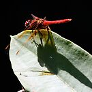 Cardinal Meadowhawk Shadow on Leaf by Wolf Read