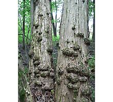 Twin Trees with Galls-CANCER don't you see? Photographic Print