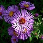 Wild Purple Aster by Laura S