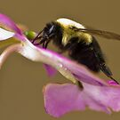 Macro bee 7 by Douglas Gaston IV
