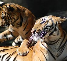Malayan Tiger and Cub by Kathy Newton