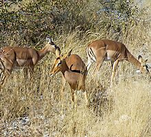 black faced impala by Matt Eagles