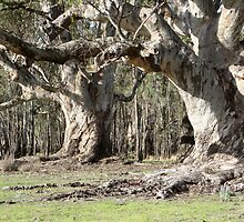 Stately old trees by felicityT