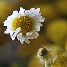 White light (from wild flowers collection) by Antanas