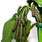 Monarch Caterpillar Hanging Cluster by Molly  Kinsey