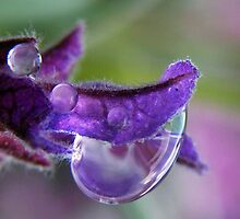 Wet lavender by Yool
