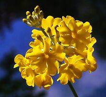 Yellow Candelabra Primulas by Susie Peek