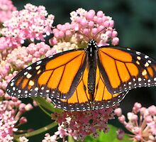 Monarch on a Butterfly Bush by Peter Bida