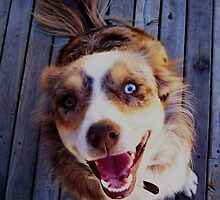 Motley - Red Merle Border Collie by Kate Howarth