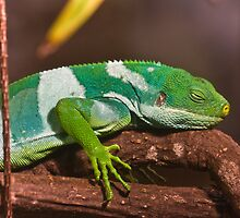 Fiji Banded Iguana by Jason Asher