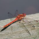 Male ruddy darter by relayer51