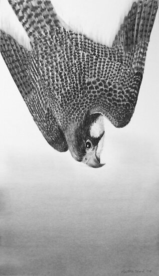 Dive - Peregrine Falcon by Heather Ward