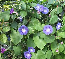 Morning Glories at Dusk by MarianBendeth