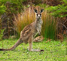 Eastern Grey Kangaroo by Darren Stones