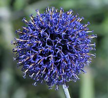 Purple.......or is that blue?? by Sharon Perrett