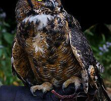 Long Eared Owl 2 by John Absher
