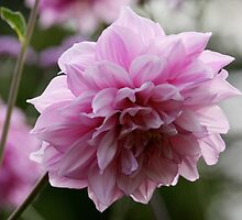 Pink Chrysanthemum by Wolf Read
