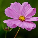 Pink Cosmos With a Dash of Yellow by Wolf Read